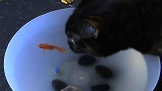 Cat Loves Drinking From The Fishbowl - Video