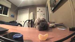 Adorable Dog Fails to Steal Clementine - Video