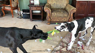 Great Danes play tug-of-war with alligator stuffed animal - Video
