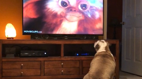 Compilation of bulldogs who love watching movies