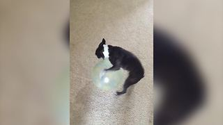 French Bulldog Dog plays with a ball and walks backward