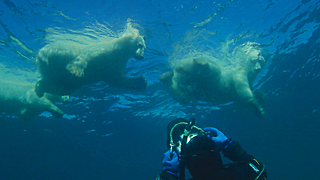 Swimming With A Wild Polar Bear Family - Video