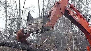 Harrowing footage shows orangutan trying to fight off bulldozer destroying habitat