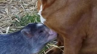 Cute Pig Wants To Be Friends With All Of The Dogs - Video