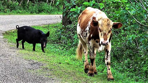 Cow and his wild pig friend casually stroll down the road in Tonga