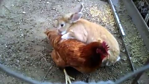 Chicken Gets Annoyed By Snuggling Bunny