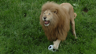 This Big Cat Likes To Play Soccer