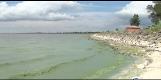 Blue-green algae causes concerns about fish