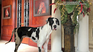 Funny Sitting Cat And Great Dane Play Catch