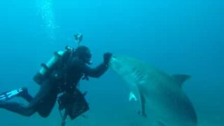 Incredible: Diver hypnotizes female tiger shark