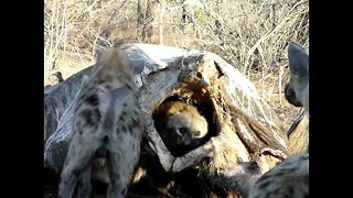 Clever hyena escapes attack from rival clan by hiding inside elephant carcass - Video