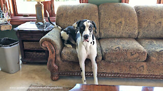 Great Dane Learns To Sit Like The Peoples Do