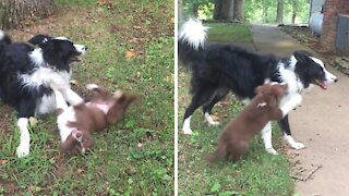 Border Collie sweetly plays with big sister