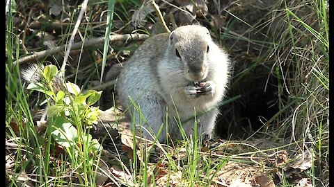 Gopher nibbles sunflower seeds
