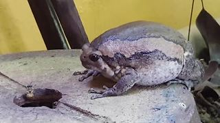 Bullfrog devours bees with its huge, rapid-fire tongue - Video