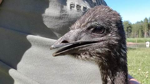 Smart emu comes to owner when called