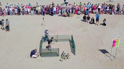 The great escape – Rescued penguins taken to the beach and released into natural habitat