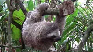 Sloth in Costa Rica Shows Just How Slow it Can Move - Video