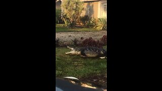 Big gator caught in Collier County