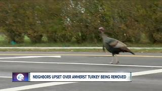 Notorious Amherst turkey has been captured - Video