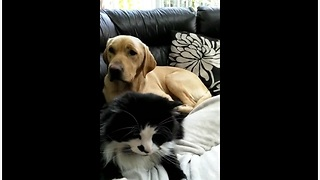 Jealous Dog Is Upset That Cat Is Getting All The Attention From Their Owner - Video