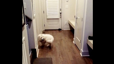 Dizzy Doggy Hits The Wall While Chasing It's Tail