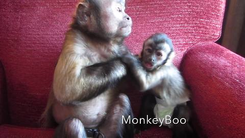 Capuchin adult and baby monkey enjoy playtime together