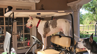 Funny 200 lb Great Dane Takes Over Golf Cart  - Video