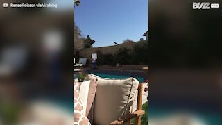 Disagreement between dog and crow ends with splash in the pool