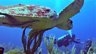 Gigantic loggerhead sea turtle approaches scuba diver for a close inspection
