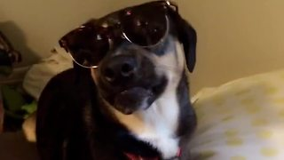 Cool dog wears sunglasses indoors - Video