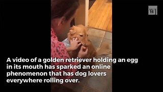 'Egg Challenge' Video: Dog Lovers In Awe of What A Golden Retriever's Jaws Are Capable Of - Video