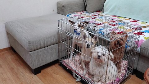 Smart puppies know how to open cage, go inside and close gate behind them