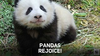 Giant panda population no longer endangered - Video