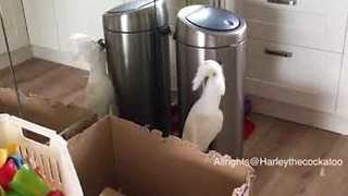 'Fierce' Cockatoo Takes on Tall Kitchen Bin - Video