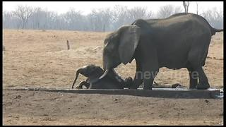 Female elephant rescues a baby stuck in irrigation channel - Video