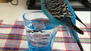 Bath time for budgie Boncuk  - Video