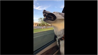 Husky loves to hang head out of window - Video