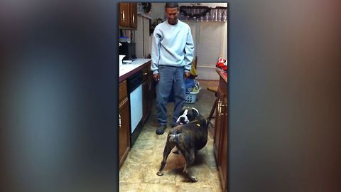 A bulldog is given a treat. The reason he spins in circles is just hilarious!