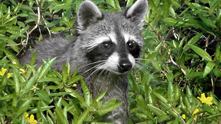 Raccoon tests positive for rabies after encounter with dog at Boynton Beach park - Video