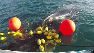 Whales Trapped in Nets Rescued Near the Gold Coast - Video
