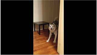 Husky successfully plays peekaboo with owner