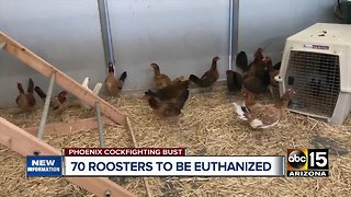 70 roosters to be euthanized after cockfighting bust