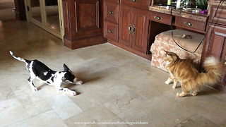 Great Dane Puppy Barks At Cat To Initiate Play
