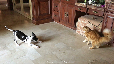 Great Dane puppy barks at cat to play with him