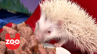 Albino Hedehogs Get Royal Connection! - Video