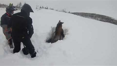 Snowmobilers Dig Out Moose Stuck In Newfoundland Snow