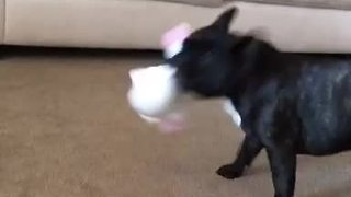 French Bulldog obliterates annoying singing toy - Video