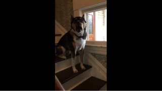 Dog hates mailman - does his best not to bark - Video