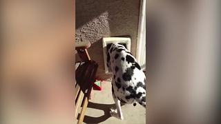 A Great Dane Dog Squeezes Through A Tiny Dog Door - Video